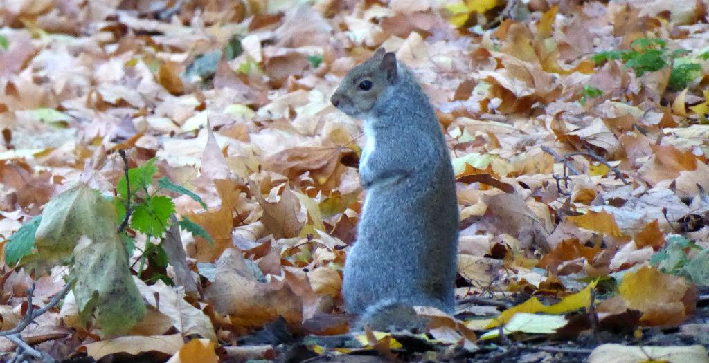 Ardilla en el Hyde Park de Londres