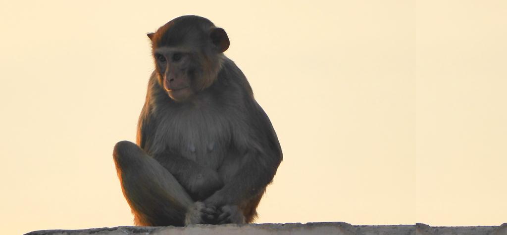 Mono en Jaipur, en el Triángulo Dorado de la India