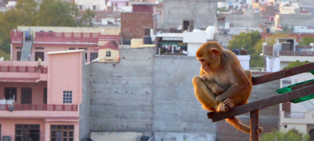 Mono en Jaipur, India