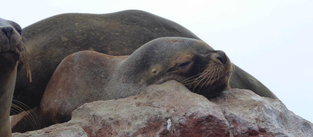 Lobos marinos en las Islas Ballesta, Perú