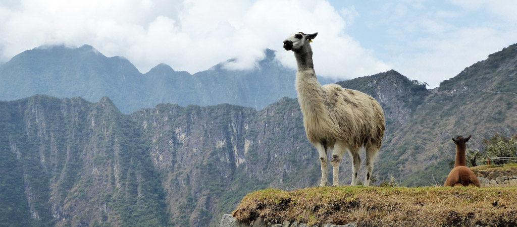 Llamas en un de las cimas del Machu Picchu, Perú